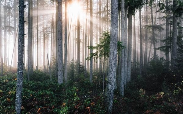 Sun shining through a mist in a forest of trees with lots of ground plants and brush.